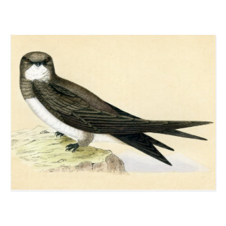 Antique Print of a Alpine Swift Postcard