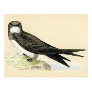 Antique Print of a Alpine Swift Postcard