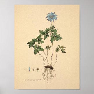 Apennine Anemone Vintage Floral Print