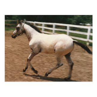 Appaloosa / Colorado Ranger Colt Postcard