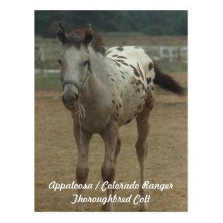 Appaloosa / Colorado Ranger ThooughbredColt Postcard