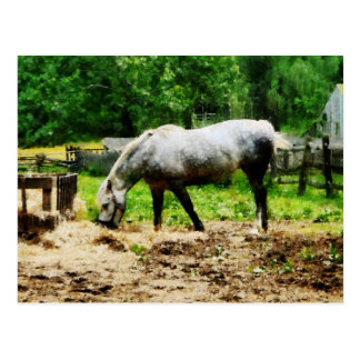 Appaloosa Eating Hay Postcard
