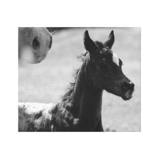 Appaloosa Foal Canvas Art