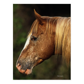 Appaloosa Horse Headshot 1 Postcard