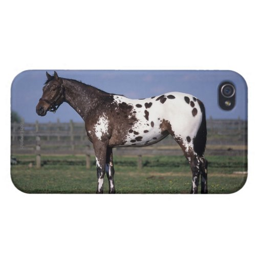 Appaloosa Horse Standing iPhone 4/4S Cases