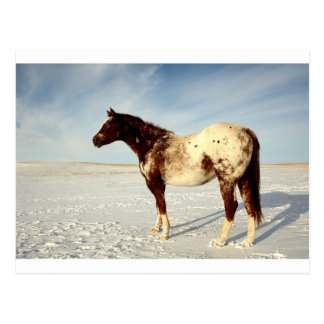 Appaloosa mare in winter postcard