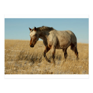 Appaloosa mare on the prairies postcard