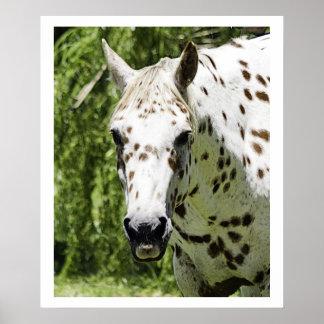 Appaloosa Portrait,Horse Photography Poster