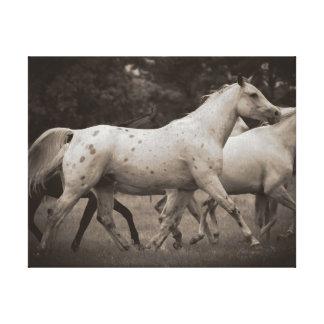 Appaloosa Running Free Canvas Print