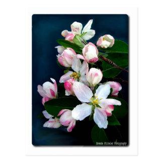 Apple Blossom Branch Postcard