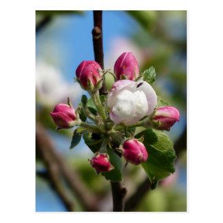 Apple Blossom Closeup Postcard