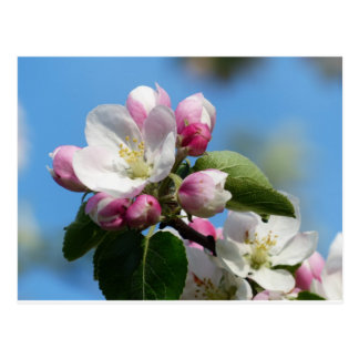 Apple Blossom Closeup Post Card