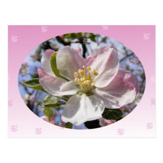 Apple Blossom Flower Postcard
