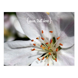 Apple Blossom in Spring Post Cards