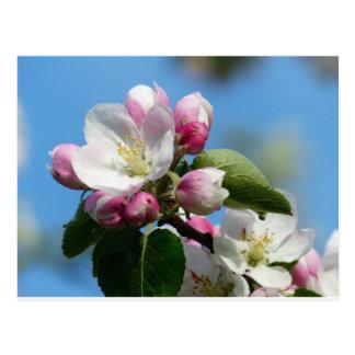 Apple blossom in Spring Postcard