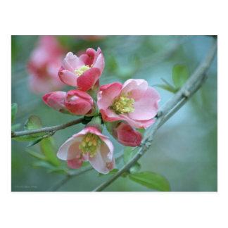 Apple Blossom P0356 Postcard