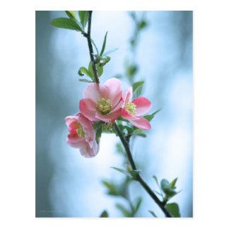 Apple Blossom #P0365 Postcard