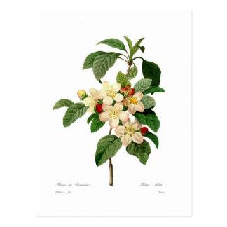 Apple blossom post card