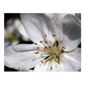 Apple Blossom - postcard