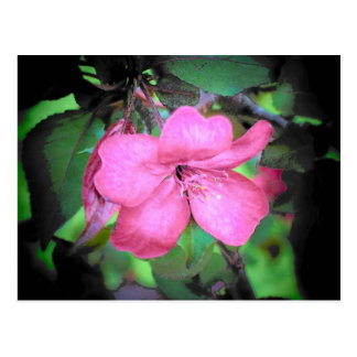 Apple Blossom Post Cards