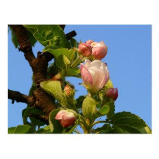 Apple blossom still closed, blue sky postcard