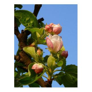 Apple blossom still closed postcard