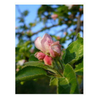 Apple blossom still closed post card