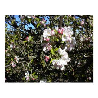 Apple Blossom Time Postcard
