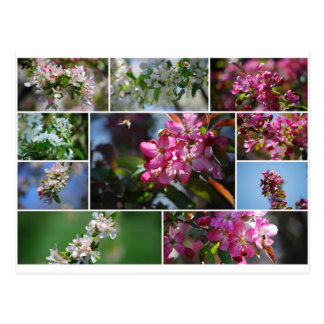 Apple Blossoms and Honey Bees Postcard