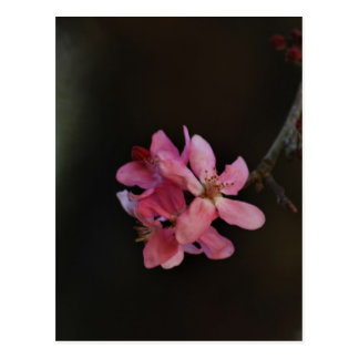 Apple Blossoms and their meaning Postcard