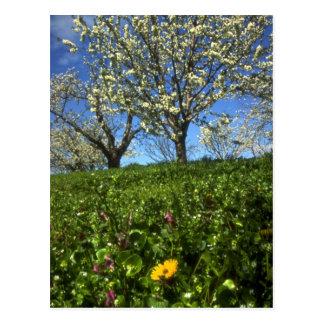 Apple blossoms, Hood River, Oregon Post Card