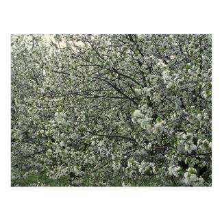 Apple blossoms Photo Postcard