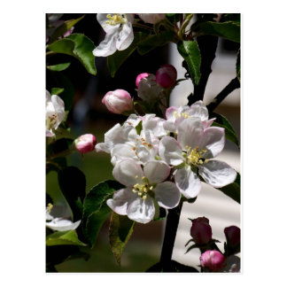 Apple Blossoms Post Card