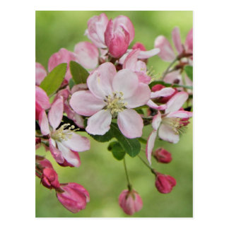 Apple blossoms postcard