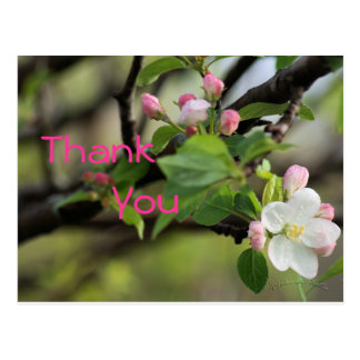 Apple Blossoms Postcard- customize any occasion Postcard