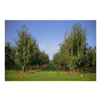 Apple Orchard Poster