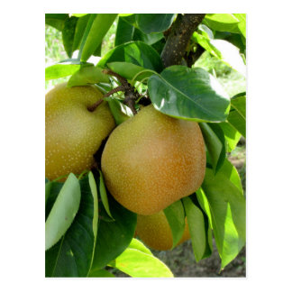 Apple pear on tree branches postcard