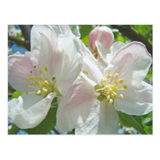 Apple Tree Blossom Flowers postcards Spring Floral
