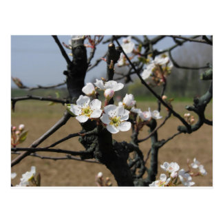 Apple tree branches with blossoms postcard
