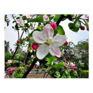 Apple Tree In Blossom Post Card
