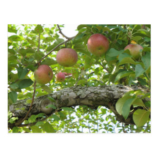 Apples Hanging On The Tree Postcard
