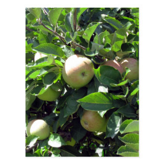 Apples on tree branches postcard