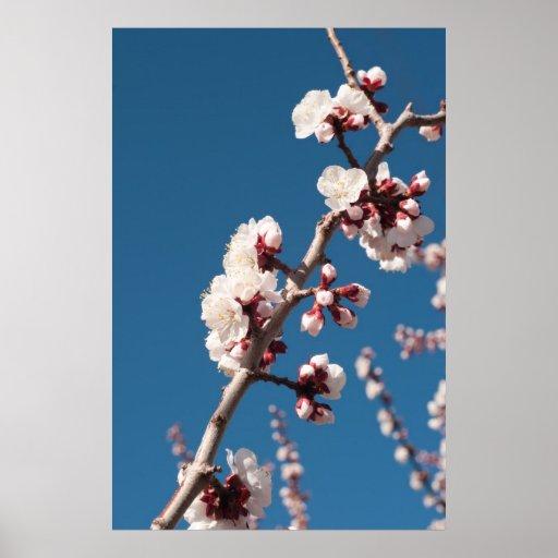 Apricot Blossoms Print
