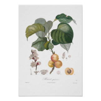 Apricot, Early apricot Poster