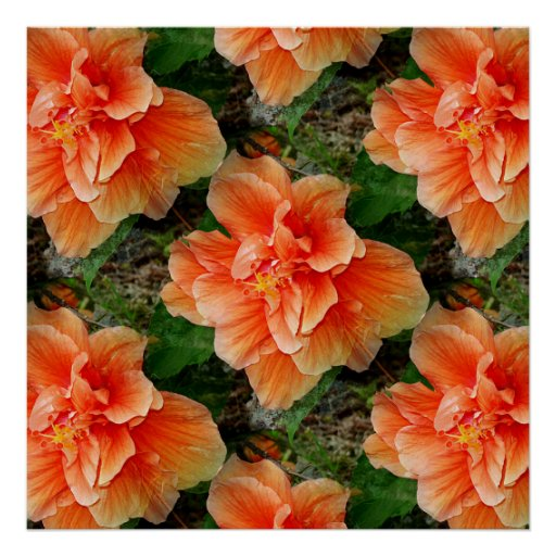 Apricot Hibiscus Flower Posters