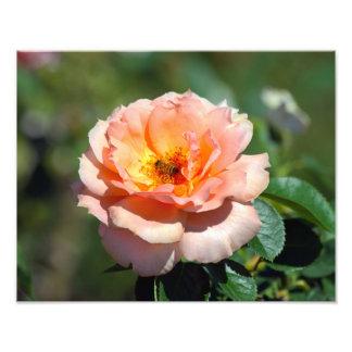 Apricot Hybrid Tea Rose With Honeybee Photo Print