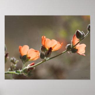 Apricot Mallow 16x12 Semi-Gloss Poster Print
