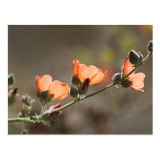 Apricot Mallow Flowers Postcard