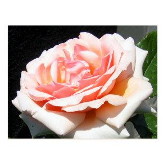 Apricot Rose Postcard