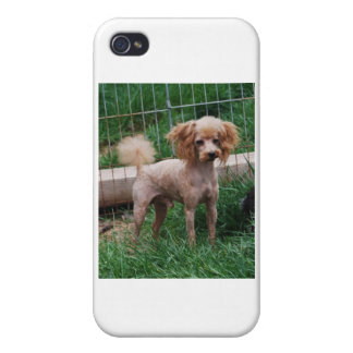 Apricot Toy Poodle stud dog Covers For iPhone 4